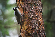 Three-toed Woodpecker Picoides tridactylus, Photo by Davis Ulands | davisulands.com