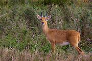 Reedbuck, Serengeti National Park, Tanzania.