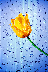 A yellow tulip on a backdrop of glass speckled by raindrops