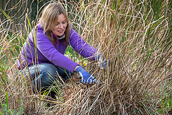 Pruning deciduous grasses by cutting back in spring. Using secateurs to avoid damaging green growth. Miscanthus sinensis