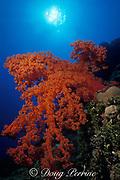 soft coral,<br /> Dendronephthya sp.,<br /> Flinders Reef, Coral sea, <br /> Australia
