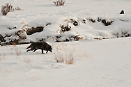 Traveling Black Wolf, Druid Pack, Lamar Valley, Yellowstone National Park