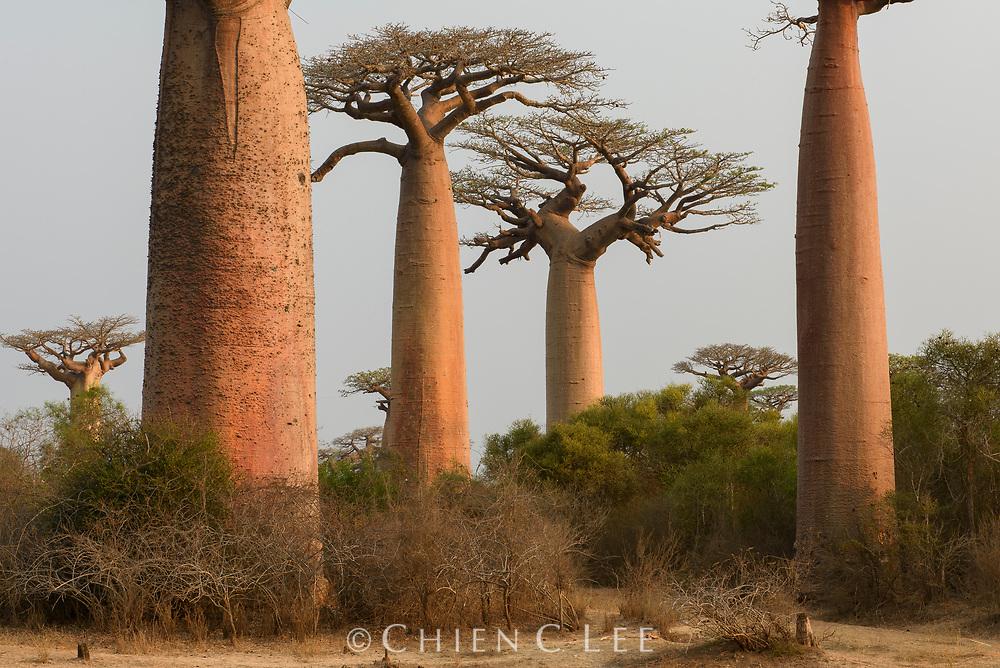 Grandidier's Baobab (Adansonia grandidieri). Morondava, Madagascar.