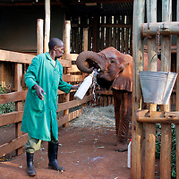 Africa, Kenya, Nairobi. Bottle feeding orphaned baby elephant at David Sheldrick's Wildlife Trust.