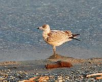 Ring-billed Gull (Larus delawarensis). Lake Chelan, Washington. Image taken with a Nikon D200 camera and 18-70 mm  lens.