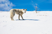 A white Mongolian dog belonging to the Tsaatan people used to alert them of presence of wolves, Khovsgol Province, Mongolia
