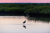 US, Florida, Merritt Island National Wildlife Refuge, Black Point Wildlife Drive. Great Blue Heron.