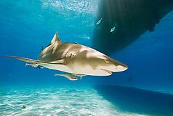 Lemon Shark, Negaprion brevirostris, with sharksuckers, Echeneis naucrates, swimming under boat, West End, Grand Bahama, Bahamas, Caribbean, Atlantic Ocean