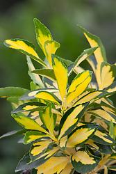 Euonymus japonicus 'Extase'' syn. Goldbolwi'