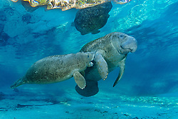 Trichechus manatus latirostris, Florida Seekuh mit saugendem Baby, Nagel oder Karibik Manati, West Indian manatee with sucking Baby, Sea Cow, Three Sisters, Three Sisters inside, Kings Bay, Crystal River, Citrus County, Florida, United States, USA, Februar 2014