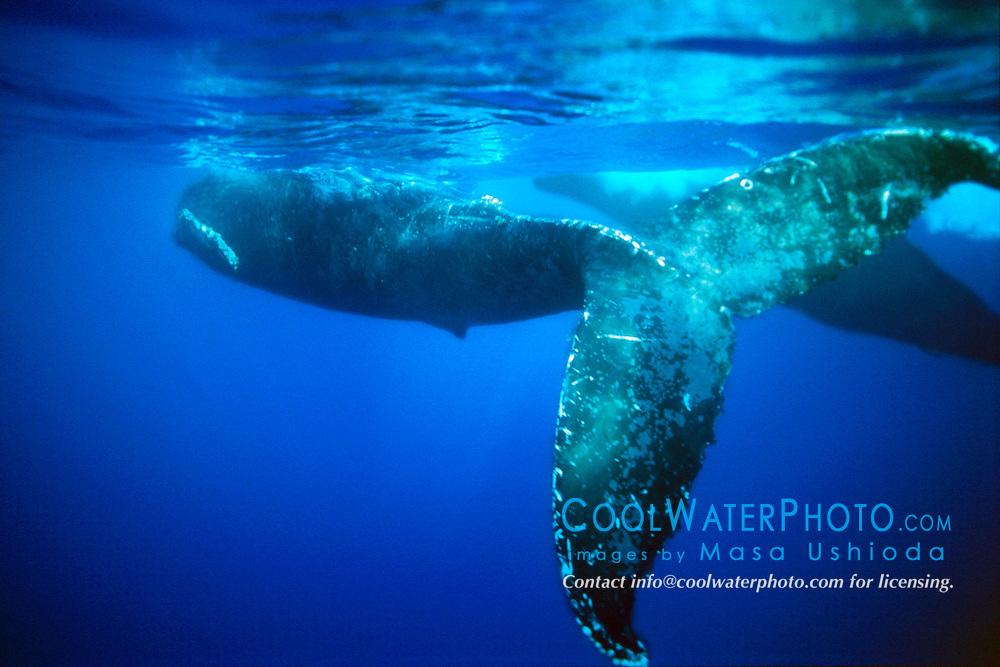 female humpback whale, Megaptera .novaeangliae, swimming upside down .to avoid copulating, courtship behavior, .Hawaii (Pacific)