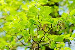 Haagbeuk, Carpinus betulus