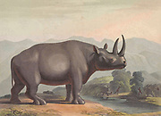 The African rhinoceros (Ceratotherium simum). hand colored plate from the collection of  ' African scenery and animals ' by Daniell, Samuel, 1775-1811 and Daniell, William, 1769-1837 published 1804