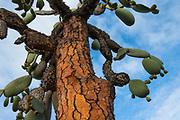 Opuntia Cactus (Opuntia echios var. gigantea)<br /> Tortuga Bay, Santa Cruz Island, GALAPAGOS ISLANDS<br /> ECUADOR.  South America