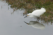 A snowy egret (Egretta thula) hunts for food in a small pond in the Golden Gate National Recreation Area near San Francisco, California.