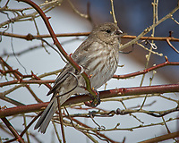 Immature Red Crossbill? or Female House Finch? Image taken with a Nikon D2xs camera and 80-400 mm VR lens (ISO 100, 400 mm, f/9, 1/320 sec).