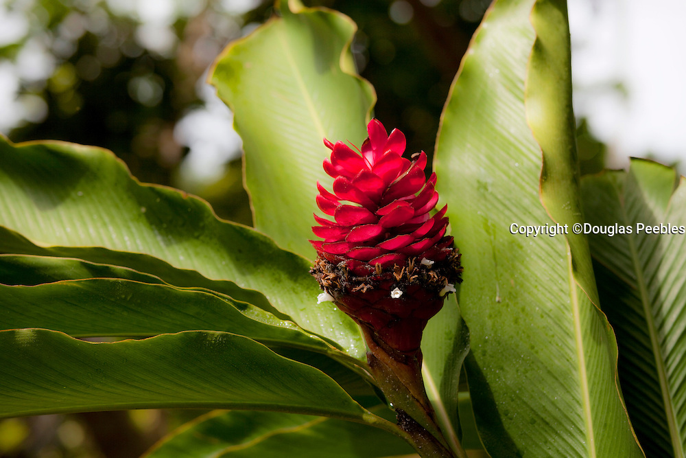 Red torch Ginger, Tropical Gardens of Maui, Iao Valley, Maui, Hawaii