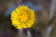 Coltsfoot flower in spring with only a few florets open..