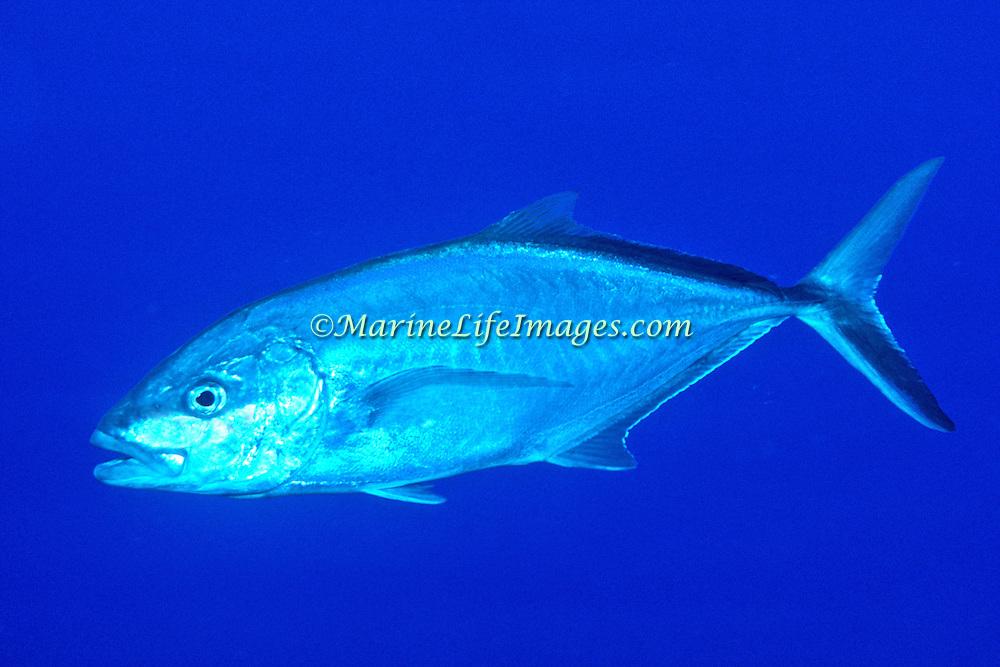BarJack inhabit open water in Tropical West Atlantic; picture taken Grand Cayman.