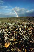 Field of pineapples, Molokai, Hawaii. USA.