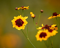 Plains Coreopsis. Image taken with a Leica CL camera and 90-280 mm lens.