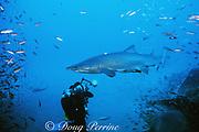 diver sand tiger shark, Carcharias taurus (formerly Odontaspis/ Eugomophodus ) wreck of the Papoose, N. Carolina, United States ( Western Atlantic Ocean )