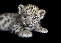Captive male snow leopard cub, Panthera uncia, approximately six weeks old, portrait, laying on black background.