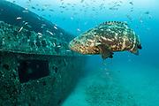 Goliath Grouper, Epinephelus itajara, near the Danny shipwreck offshore Singer Island, Florida, United States during the summer spawning aggregation.