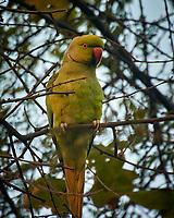 Rose-ringed Parakeet. Bharatpur-- Keoladeo Ghana National Park, Rajasthan, India. Image taken with a Nikon 1 V3 camera and 70-300 mm VR lens.