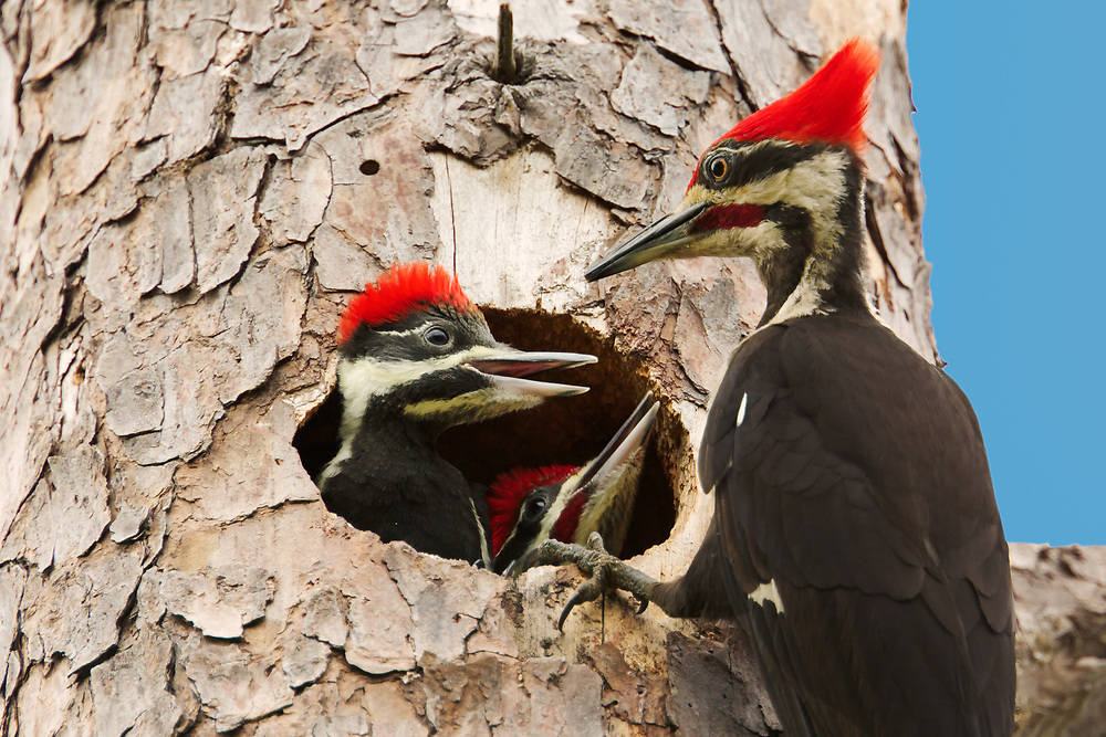 PIleated Woodpeckers - Feed Me