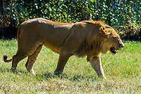 Lion Park, near Johannesburg, South Africa.