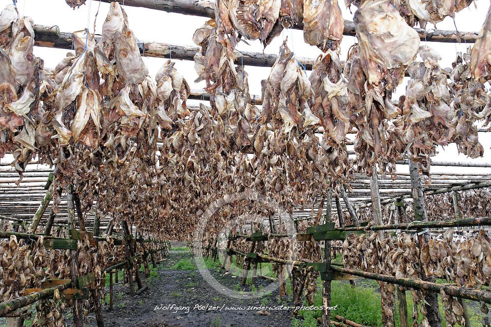 Zum Trocknene aufgehaengte Fischhaeute, drying Fish Skin, Island, Iceland