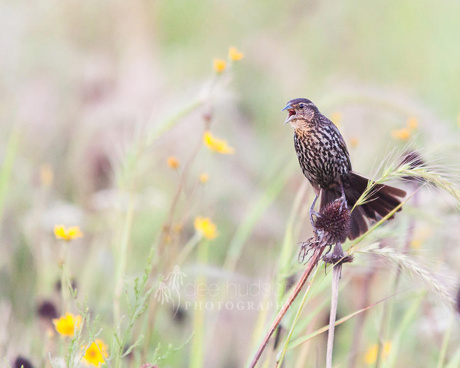 """""""My Prairie!""""<br /> <br /> A female Red–winged Blackbird protests my presence. I must be too close to her nest.<br /> <br /> Red–winged Blackbird (Agelaius phoeniceus)"""