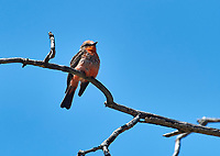Immature Vermilion Flycatcher (Pyrocephalus) perched on a small branch -  San Juan Cosala, Jalisco, Mexico
