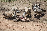 White- Backed Vulture feasting on it's prey in the Masai Mara, Kenya.