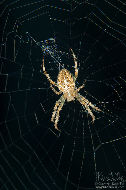 A garden spider (Araneus diadematus) waits for prey to get trapped in its web. Garden spiders are one of the largest orb weavers. They spin new webs each night and eat the remains of the previous night's web.