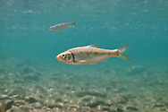 Striped Shiner<br /> <br /> Isaac Szabo/Engbretson Underwater Photo
