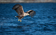 white tailed eagle after failing to take a fish from the surface Haliaeetus albicilla, Norway