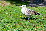 Seagull hops on the grass in an urban park in Porto, Portugal