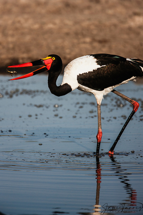 A saddle-billed stork (Ephippiorhynchus senegalensis) catches a small fish in mid-air with its bill, Khwai River, Botswana