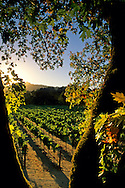 Sunset over vineyard along the Silverado Trail, Napa Valley, Napa County, CALIFORNIA
