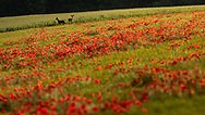 Two deer stand at the edge of a field of poppies near Goodwood, West Sussex.<br /> Picture date Thursday 24th June, 2021.<br /> Picture by Christopher Ison. Contact +447544 044177 chris@christopherison.com