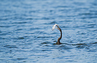 Anhinga, Anhinga anhinga, with a catfish in its beak. Tarcoles River, Costa Rica