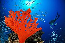 Red fire sponge, Latrunculia magnifica, and  scuba diver, South Egypt, Red Sea, MR