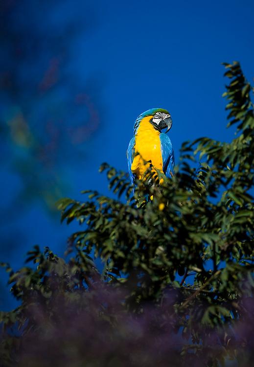 Nova Lima_MG, Brasil...Detalhe da Arara-de-barriga-amarela (Ara ararauna) do condominio Passargada...The Blue-and-yellow Macaw (Ara ararauna) in the Passargada condominiumm...Foto: JOAO MARCOS ROSA /  NITRO