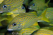 French grunts, <br /> Haemulon flavolineatum, <br /> Bahamas (Atlantic)