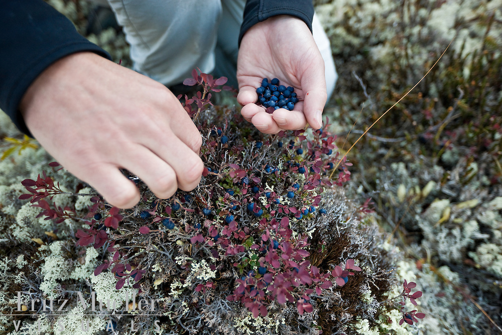 Berrypicking on a hiking trip in Tombstone Territorial Park, Yukon in late summer
