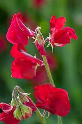 Lathyrus odoratus 'Bouquet Crimson'. Sweet pea