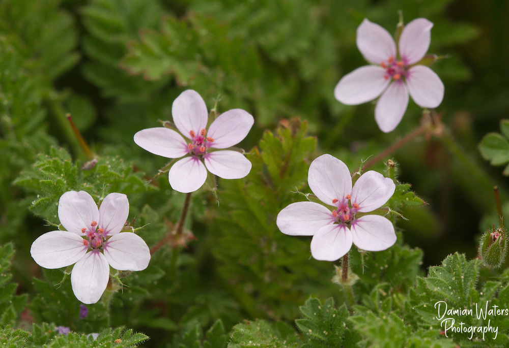 Common Stork's Bill, Erodium cicutarium, showing 4 open flowers at Formby Point, Merseyside