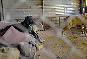 Rescued dogs rest in their enclosure at the shelter.